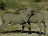 Warthog (Phascochoerus Africanus) Photographic Print by Beverly Joubert