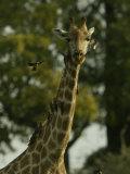 Bird Flies Near the Neck of a Giraffe Photographic Print by Beverly Joubert