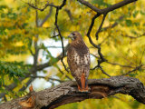 Red-Tailed Hawk, Buteo Jamaicensis, Perched on a Tree Branch Photographic Print by Darlyne A. Murawski