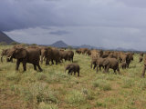 Elephant Groups on the Move in Samburu National Park Photographic Print by Michael Nichols