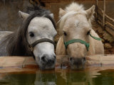 Two Ponies Meet for a Refreshing Drink of Water Lámina fotográfica por Medford Taylor