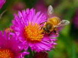Bee Sipping Nectar from a Bright Pink Flower Photographic Print by Darlyne A. Murawski