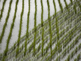 Rice Field under a Cloudy Sky Photographic Print by Michael S. Yamashita