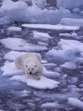 Polar Bear Drifts on Floating Ice in the Arctic Ocean Photographic Print by Gordon Wiltsie
