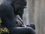 Gorilla Mother Looking Down at Her New Born Baby Photographic Print by Karine Aigner