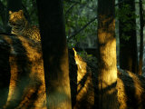 Leopard, Panthera Pardus, Resting on a Fallen Log in Wooded Setting Photographic Print by Beverly Joubert