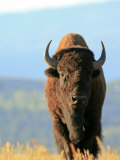 American Bison Cow or Female in Grand Teton National Park, Wyoming Photographic Print by Drew Rush