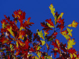 Oak Leaves in Fall Colors Against a Bright Blue Sky Photographic Print by Raymond Gehman