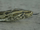 African Rock Python (Python Sebae) Photographic Print by Beverly Joubert