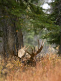 Bull Rests as Snow Begins to Fall in Grand Teton National Park Photographic Print by Drew Rush