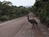 Emu Crossing a Tree Lined Dirt Road Photographie par National Geographic Photographer