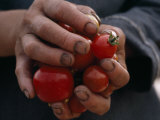 Farmer Holding a Handful of Tomatoes Photographic Print by Lynn Johnson