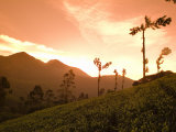 Tea Bushes Grow in the World's Largest Tea Estates Photographie par Abraham Nowitz