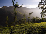 Tea Bushes Grow in the World's Largest Tea Estates Photographic Print by Abraham Nowitz