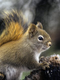 Red Squirrel (Tamiasciurus Hudsonicus) Photographic Print by Michael S. Quinton