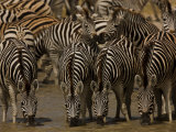Herd of Burchell's Zebras Drinking at a Watering Hole Photographic Print by Beverly Joubert