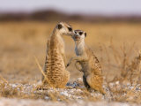 Pair of Meerkats, Suricata Suricatta Photographic Print by Karine Aigner