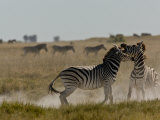Two Burchell's Zebras Fighting as Part of the Herd Passes By Photographic Print by Beverly Joubert