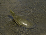 Eastern Painted Turtle Basks in Lake of the Woods, Ontario, Canada Photographic Print by Gordon Wiltsie