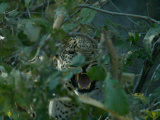 Leopard Snarls Behind Tree Branches Photographic Print by Beverly Joubert