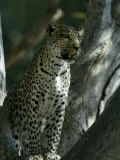 Leopard in the Woods Photographic Print by Beverly Joubert