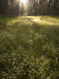 Ackerson Meadow Area at Daybreak Fotografisk tryk af Phil Schermeister