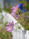 Pink Cosmos Flowers and a White Picket Fence Photographic Print by Richard Nowitz