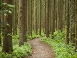 Japanese Cedar Forest at Mount Yahiko Photographic Print by Michael S. Yamashita