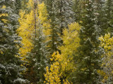 Early Snowfall Dusts Fall Colored Trees in Banff National Park, Alberta, Canada Photographic Print by Gordon Wiltsie