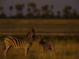 Adult and Juvenile Burchell's Zebras at Twilight Photographic Print by Beverly Joubert