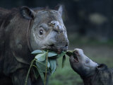 Captive Sumatran Rhinoceros and Her Calf Feeding on Leaves Photographic Print by Joel Sartore
