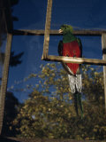 Close-up of a Quetzal Sitting on a Manmade Perch in a Cage Photographic Print by Luis Marden