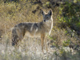 Coyote (Canis Latrans) in the Los Cerritos Wetlands Photographie par Rich Reid