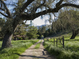 Valley Oak Tree (Quercus Lobata) and Dirt Road at Midland School Photographic Print by Rich Reid