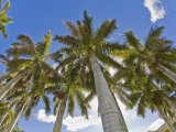 Towering Palm Trees in the Tropical Islands of the Bahamas Photographic Print by Mike Theiss