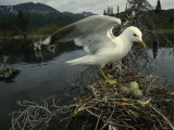 Bonaparts Gull on Nest Beside a Boreal Pond in Alaska Photographic Print by Michael S. Quinton
