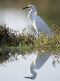 Snowy Egret (Egretta Thula) in the Los Cerritos Wetlands Photographie par Rich Reid