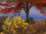 Red Maple Tree and Sycamore Sapling at Lake's Edge Photographic Print by Raymond Gehman