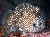 Close Portrait of a Spotted Puffer Fish Photographic Print by Paul Sutherland