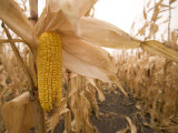 Ear of Corn Ready for Harvest in a Corn Field Photographic Print by Phil Schermeister