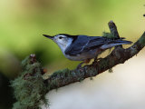 White-Breasted Nuthatch, Sitta Carolinensis, Perching on a Branch Reproduction photographique par Darlyne A. Murawski