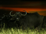Herd of African Buffalo (Syncerus Caffer)At Night Photographic Print by Beverly Joubert