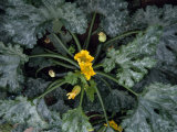 Zucchini Plant with Blossoms and Fruit in a Safari Camp Garden Photographic Print by Ed George