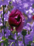 Poppy Flower and Seed Pod Among Blue Flowers Photographic Print by Ed George