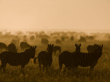Burchell's Zebras Silhouetted on the Grasslands at Twilight Photographic Print by Beverly Joubert