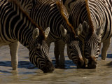 Burchell's Zebras Drinking at a Watering Hole Photographic Print by Beverly Joubert