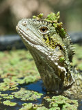 Eastern Water Dragon Sitting Submerged in Swamp Waiting for Prey Photographic Print by Brooke Whatnall