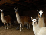 Family of Llamas Peer Out from their Barn Photographic Print by Medford Taylor