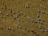 Aerial of Burchell's Zebras Walking Through a Grassland Photographic Print by Beverly Joubert