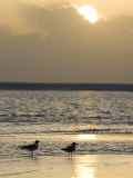 Two Birds on a Sandy Beach at Sunset Photographic Print by Roy Toft